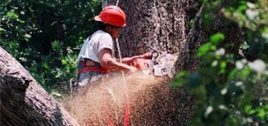Person Sawing a Tree Down