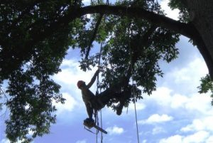 Chesapeake Tree Services Worker Suspended by Ropes in Tree