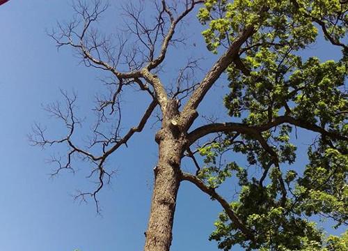 Tree Half Dead at Top